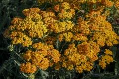 --Yarrow - Achillea millefolium 'Terra Cotta'