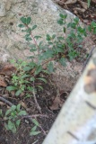 --Bearberry - Arctostaphylos uva-ursi