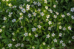 --Canada Anemone - Anemone canadensis