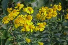 --Helen's Flower - Helenium autumnale