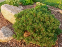--Slowmound Mugo Pine - Pinus mugo 'Slowmound'