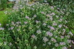--Wild Bergamot  - Monarda fistulosa