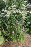 --Obedient Plant - Physostegia virginiana