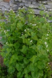 --Garlic Mustard - Alliaria petiolata