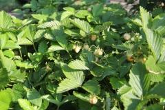--Woodland Strawberry - Fragaria vesca