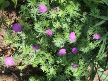 --Wild Geranium - Geranium maculatum