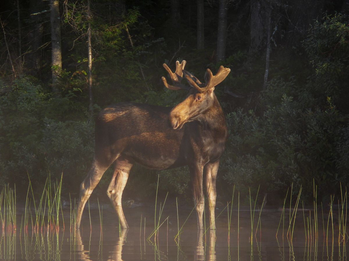 49Moose in the mist