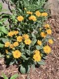 --Jethro Tull Tickseed - Coreopsis Jethro Tull