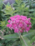 --Milkweed