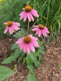 --Wild Berry Coneflower -  Echinacea purpurea Wild Berry