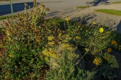 --Tickseed - Coreopsis lanceolata