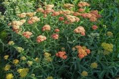 --Yarrow - Achillea millefolium
