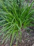 --Nodding Onion - Allium cernum