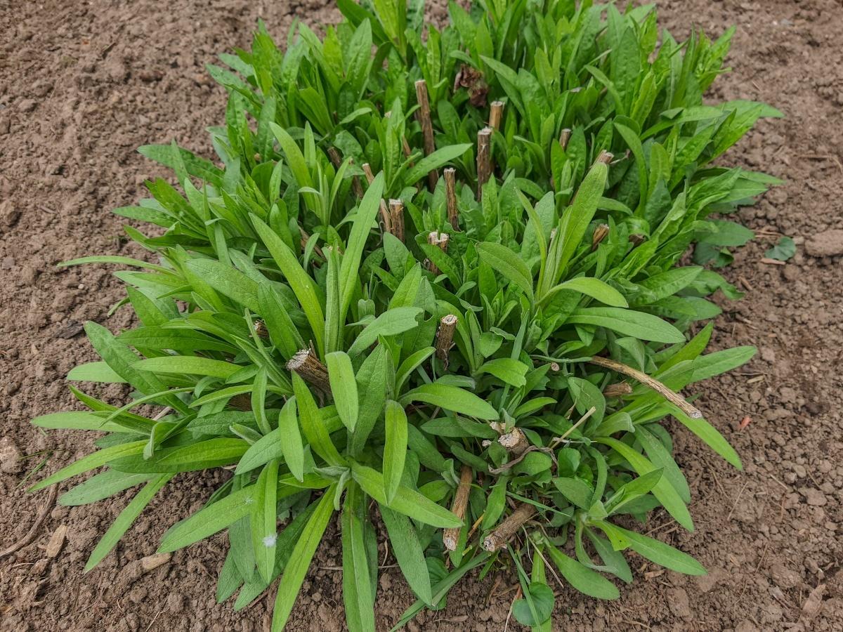 --New England Aster - Symphyotrichum novae-angliae